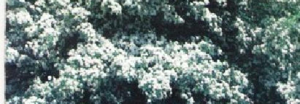 კუნელი (CRATAEGUS L.), ჯუმბერ ლომიძე, როზა ბიძინაშვილი, ჯემალ ნაკაიძე